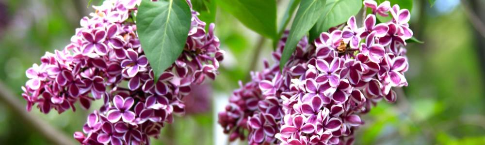 Lilacs header