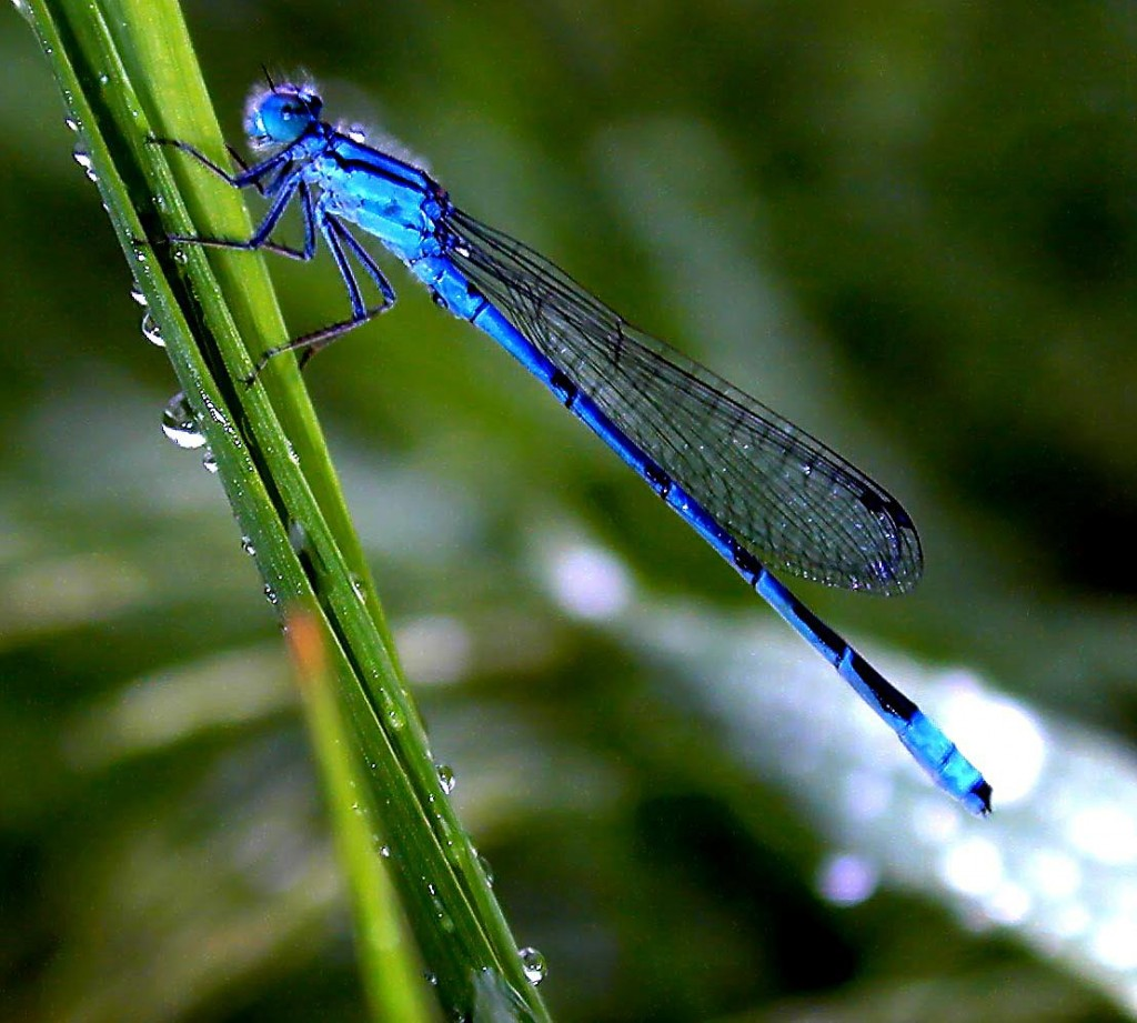 blade of grass with damselfly