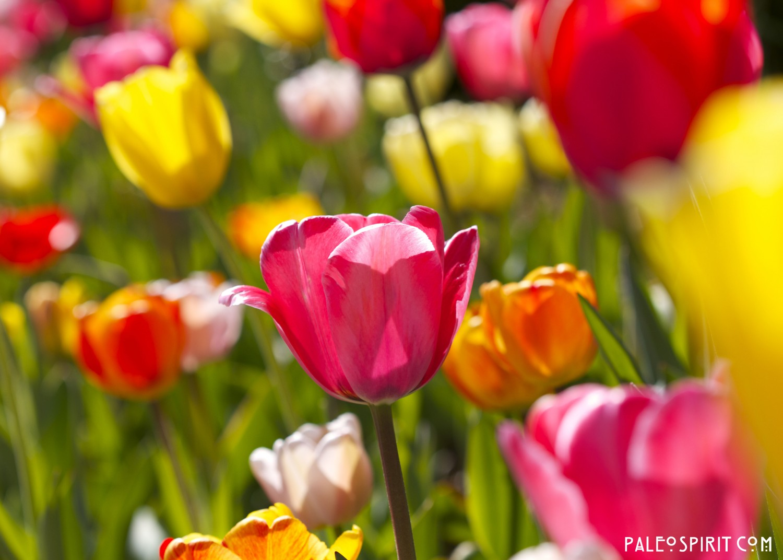 tulips wm