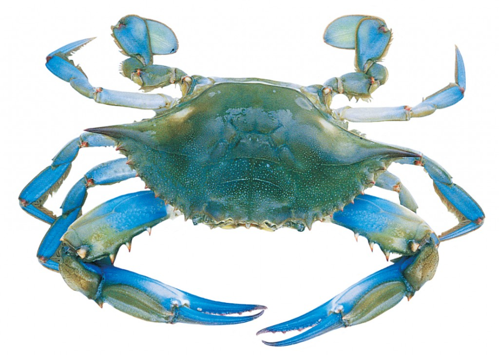 Paleo in maryland steamed crabs for Blue crab fishing