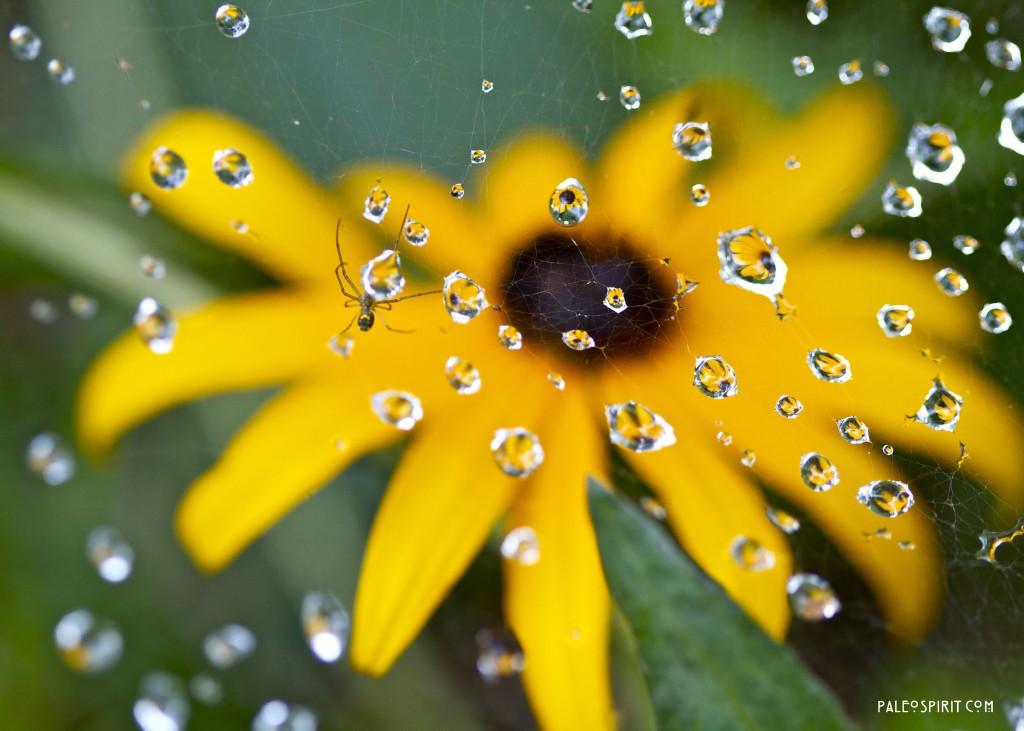 spider waterdrop blackeyed susan @Paleospirit.com