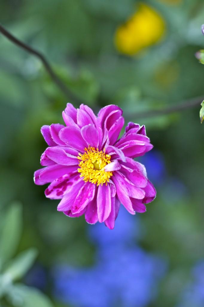 pink anemone: PaleoSpirit.com