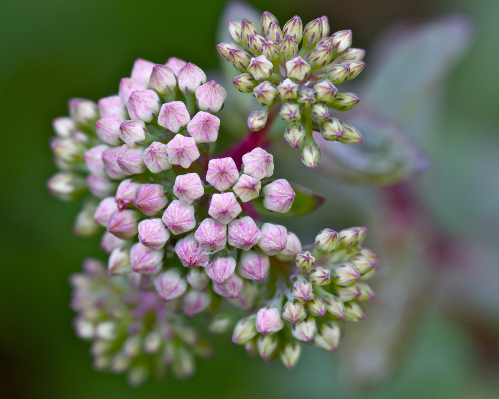 pink sedum buds: PaleoSpirit.com