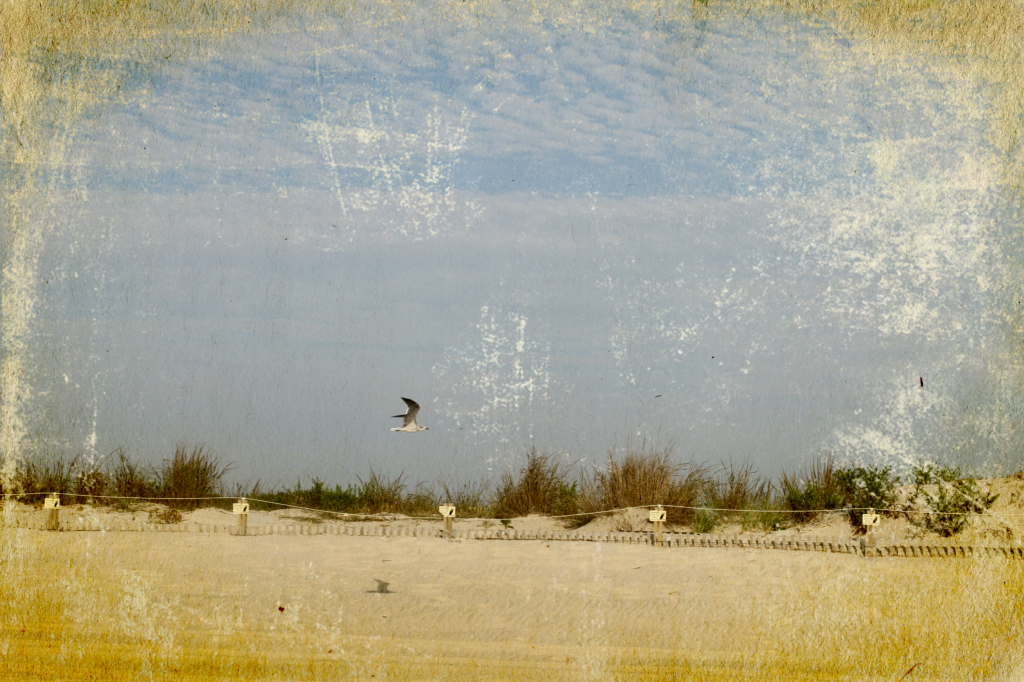 Assateague Dunes and Seagull