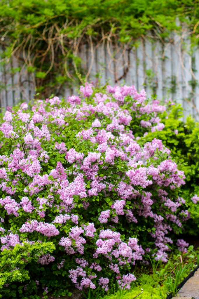 Backyard lilacs