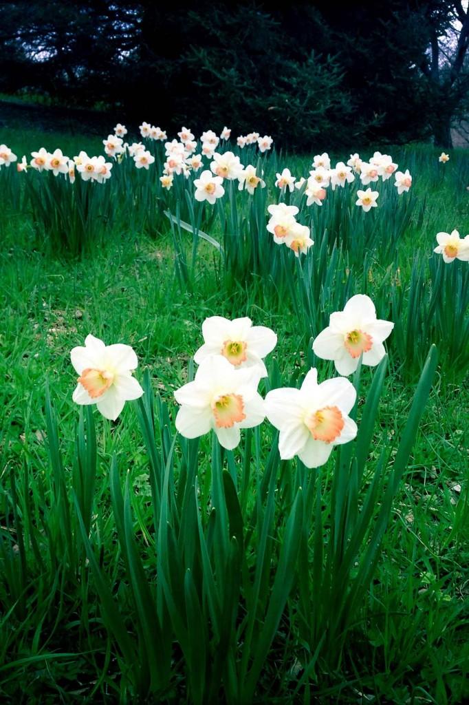 Hipstamatic daffodils 4x6