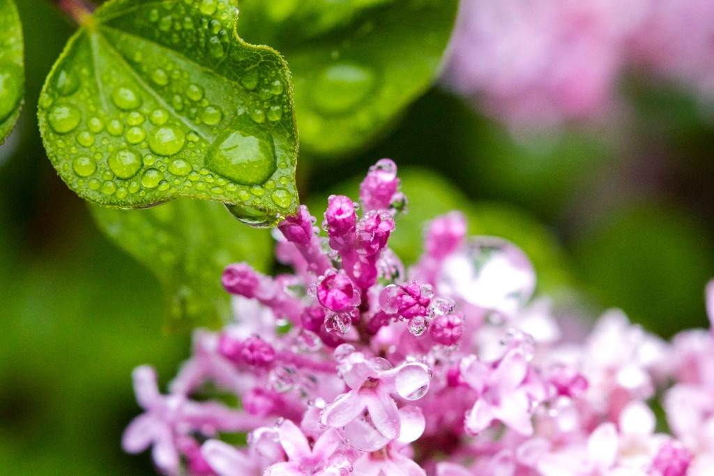 Lilacs and heart leaf