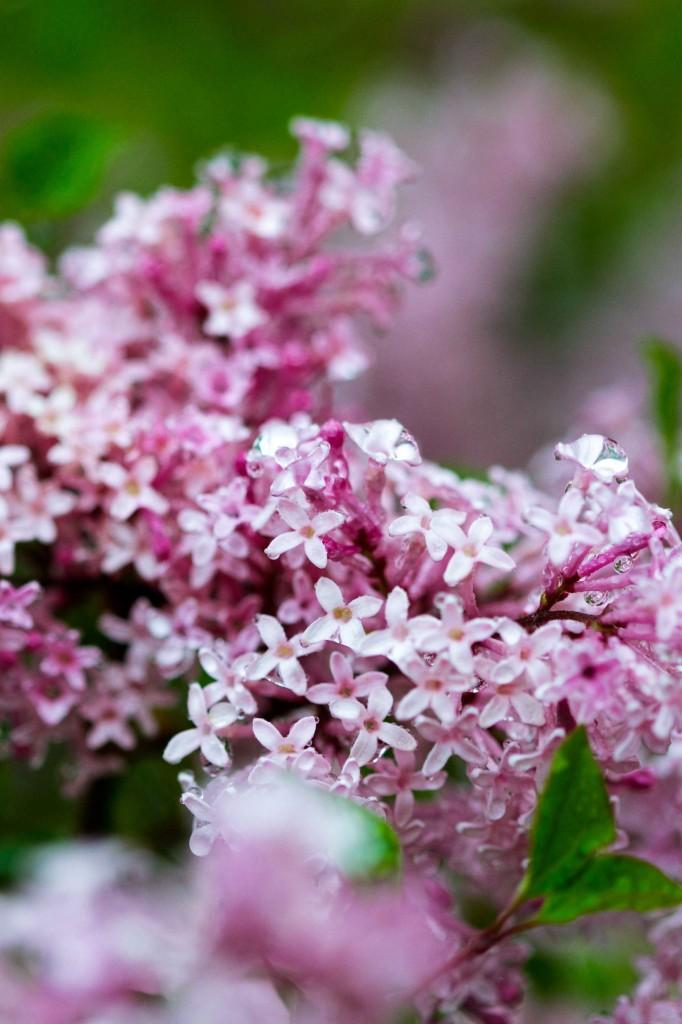 Wet Lilacs