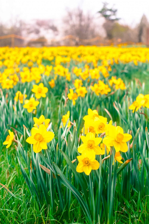 Yellow Daffodils Paleo Spirit