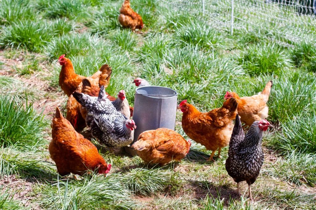 Chickens horizontal