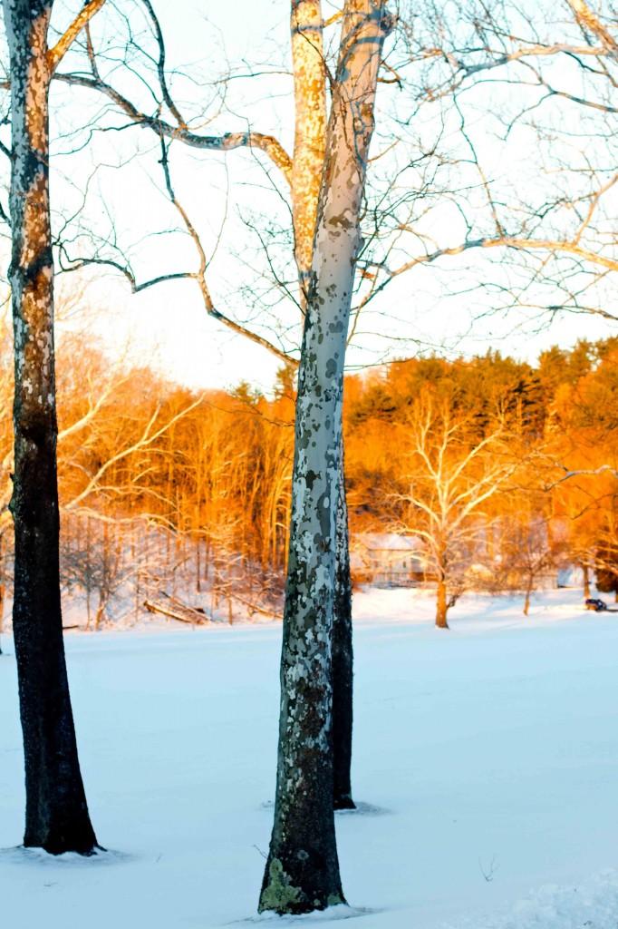 Snowy Sycamores: Lea Valle