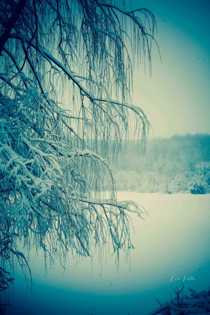 Snowy Willow   Photo by Lea Valle