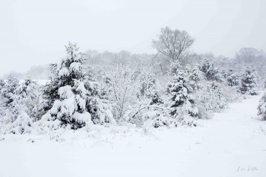 Snowy Trees   Photo by Lea Valle