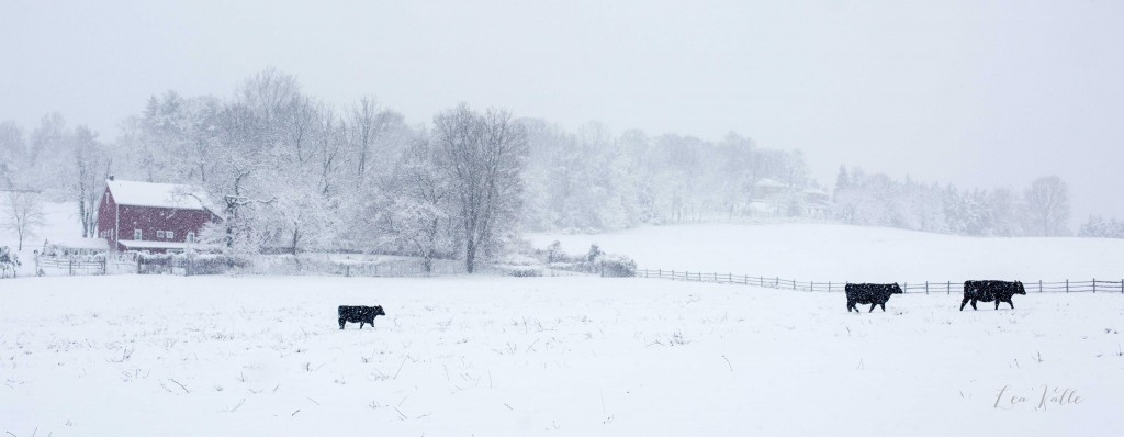 Snowy Cows   photo by Lea Valle